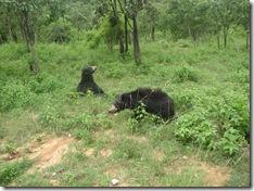free roaming bears
