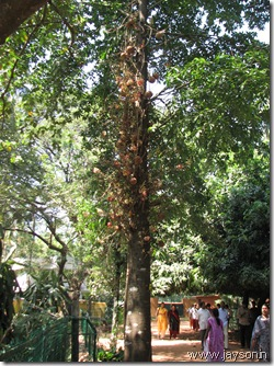 nagalinga maram (cannon ball tree) at thrissur zoo