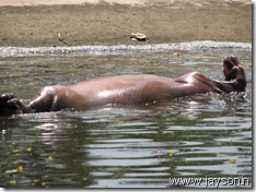 Hippopotamus at thrissur zoo