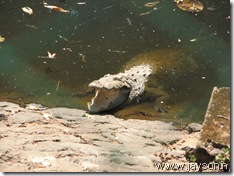 crocodiles at thrissur zoo
