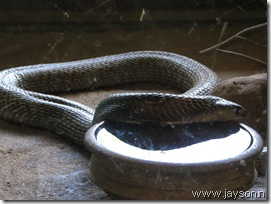 king cobra at thrissur zoo