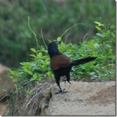 Greater Coucal (Centropus sinensis)