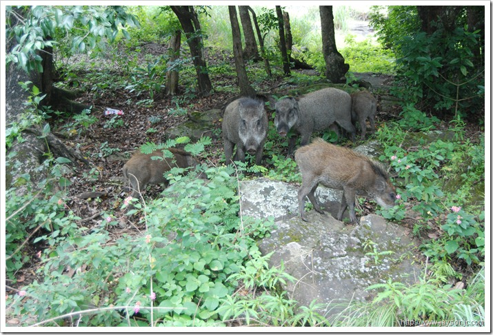 Wild boars in Anamalai wildlife sanctuary