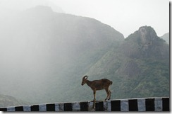 Nilgiri Tahr on Aliyar - Valparai road