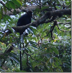 Lion Tailed Monkey - Chalakkudy