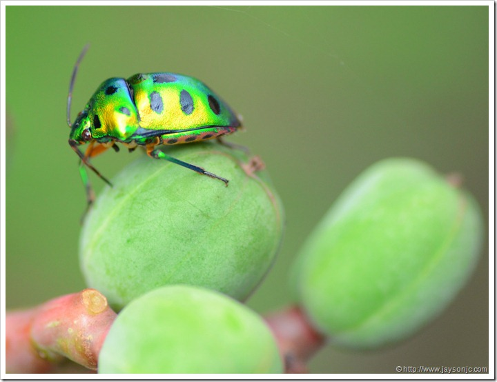 Green Jewel Bug in TBGRI
