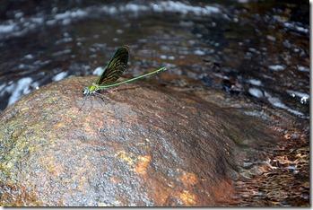 Kallar has a good collection of dragonflies
