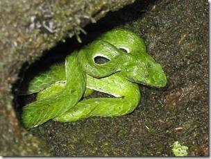 Green Pit Viper Gavi